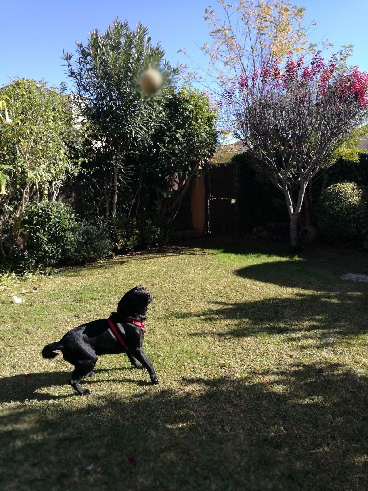 perro-pelota