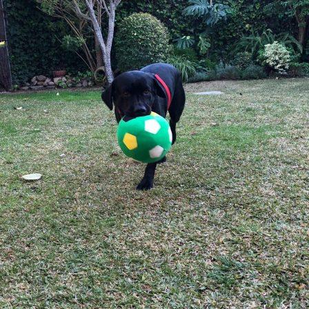 labrador-pelota