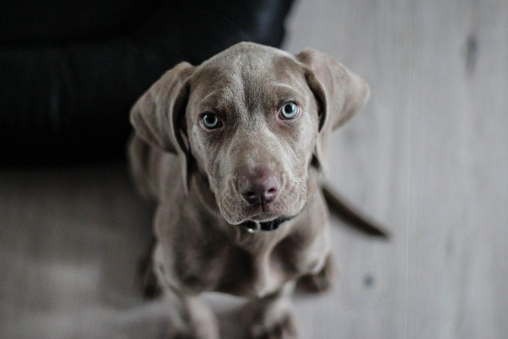 adiestramiento en cachorros
