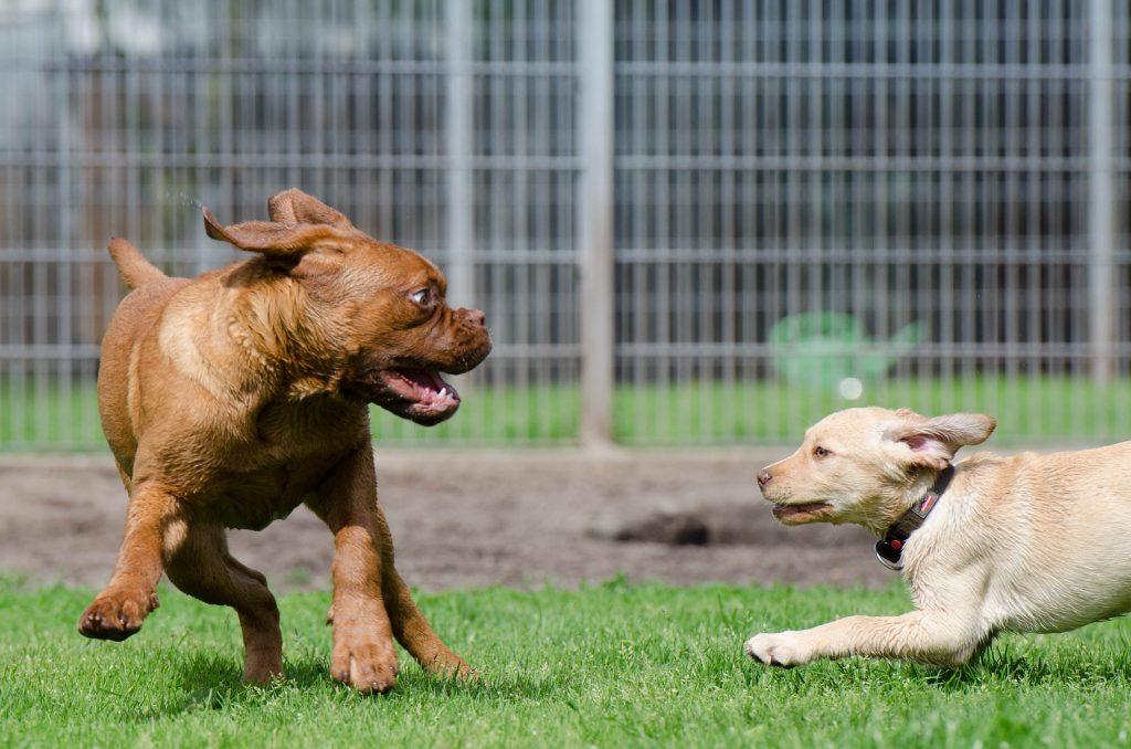 Educación canina: Dos perros mientras juegan
