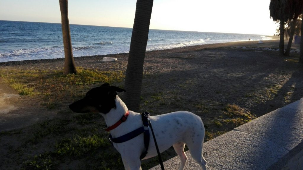 Enseñar al perro a caminar será determinante para evitar que el perro aprenda muchas conductas indeseadas.