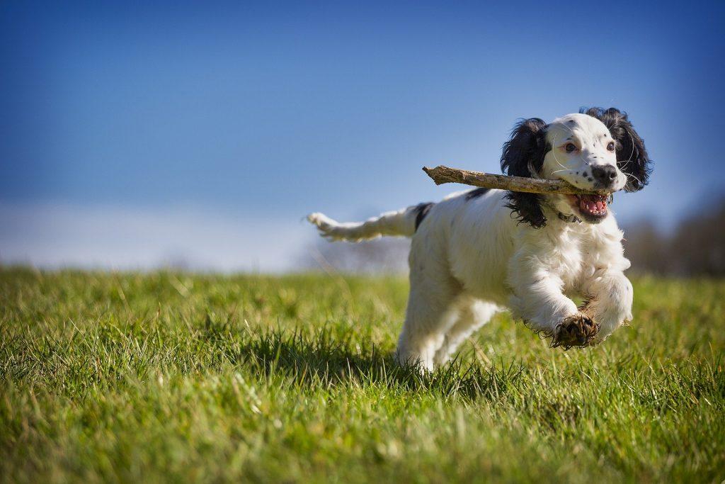 Perro jugando con un palo. El perro y la ley del mínimo esfuerzo.